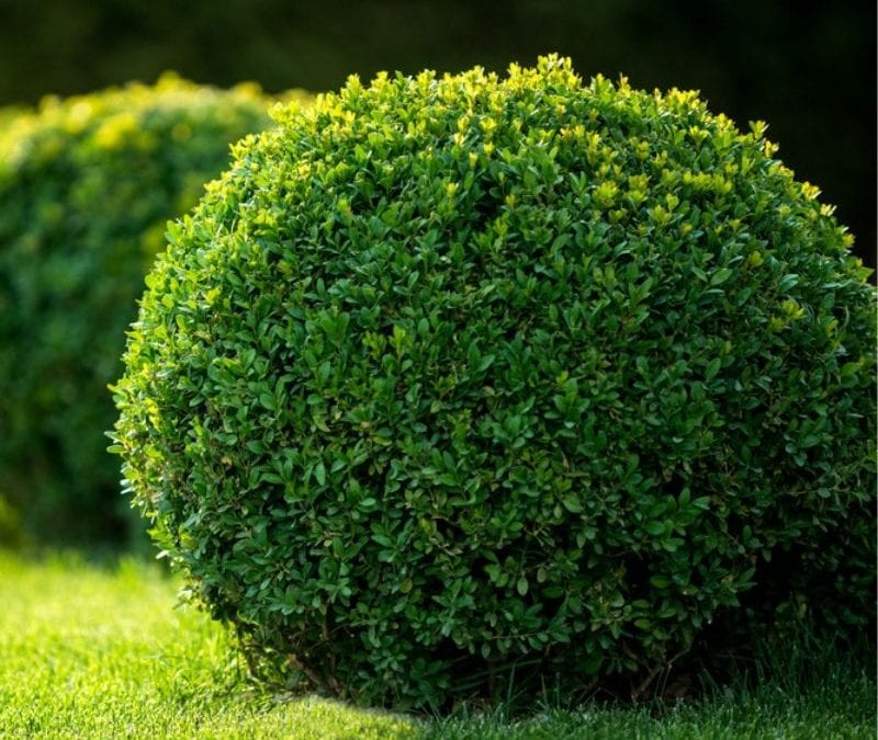 Foundation plants, like this littleleaf boxwood, can really make your home pop by adding splashes of manicured green to your property.