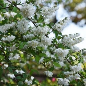 Slender Deutzia has beautiful white flowers that make this a beautiful foundation plant to add to your property.
