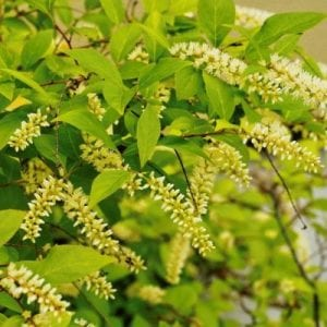 Virginia Sweetspire is a beautiful foundation plant that will add fragrant and lovely flowers to your lawn.