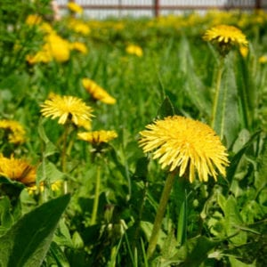 Another of our top lawn care tips for 2020 is to consistently control the weeds so you can avoid a dandelion invasion.